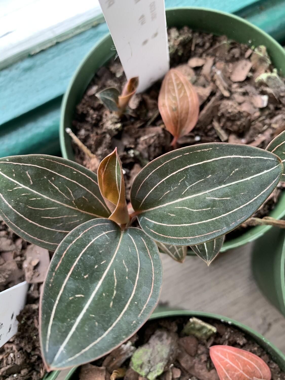 Ludisia discolor 'Jewel Orchid'