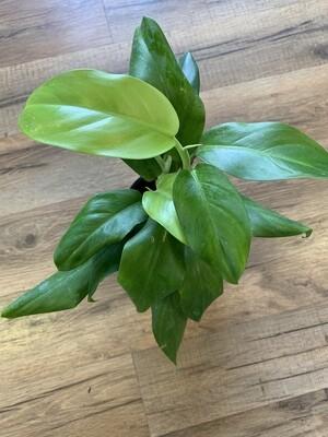 Philodendron 'Eva'