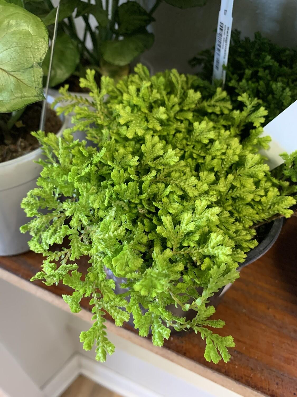 Selaginella 'Golden Moss'