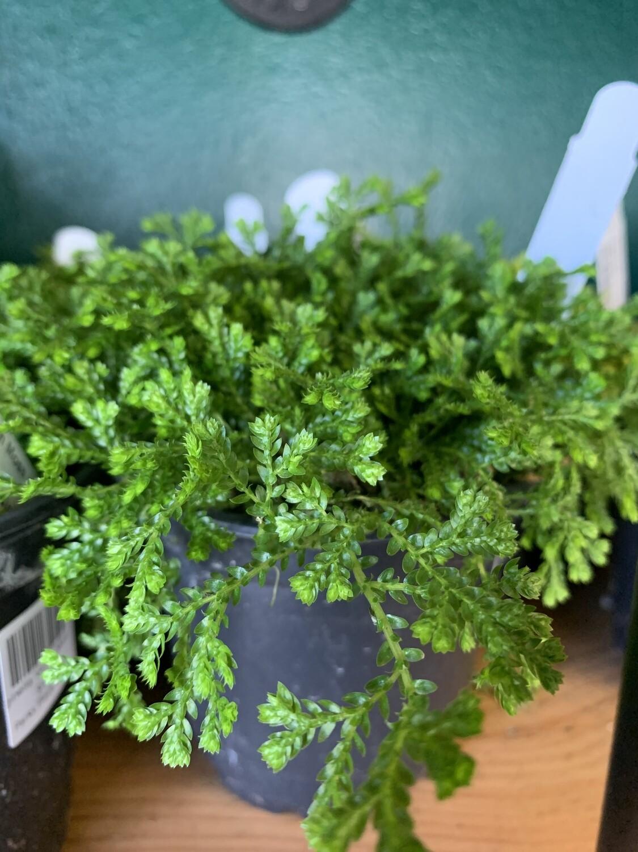 Selaginella 'Green Moss'
