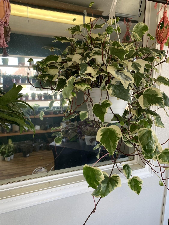 Algerian Ivy 'Variegated'