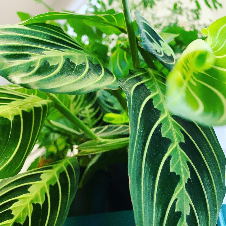 Maranta 'Lemon Lime Prayer Plant'