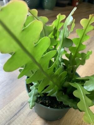 Ric Rac Orchid cactus 'Fishbone cactus'