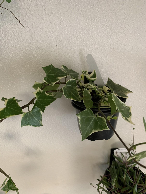 Sececio 'Wax Ivy'