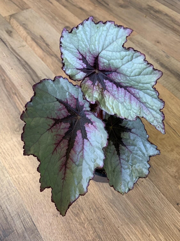 Begonia Rex 'First Blush'