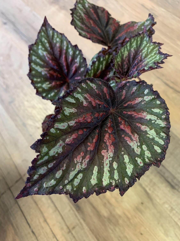 Begonia Rex 'Painter's Palette'
