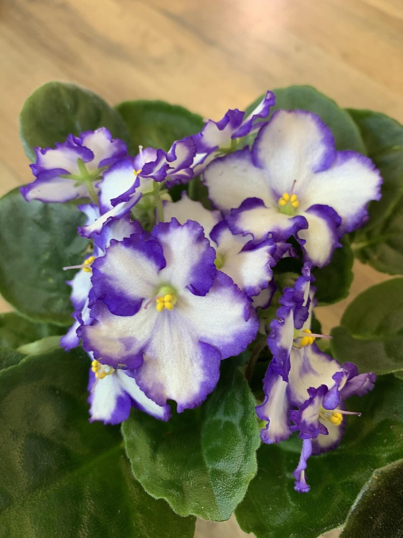 """4"""" African Violet"""