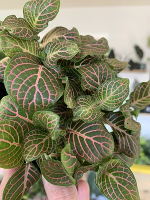 Fittonia 'Nerve Plant' Pink