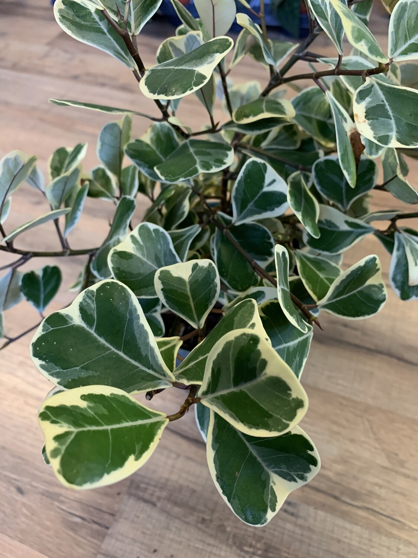 Ficus 'Triangularis Variegated'
