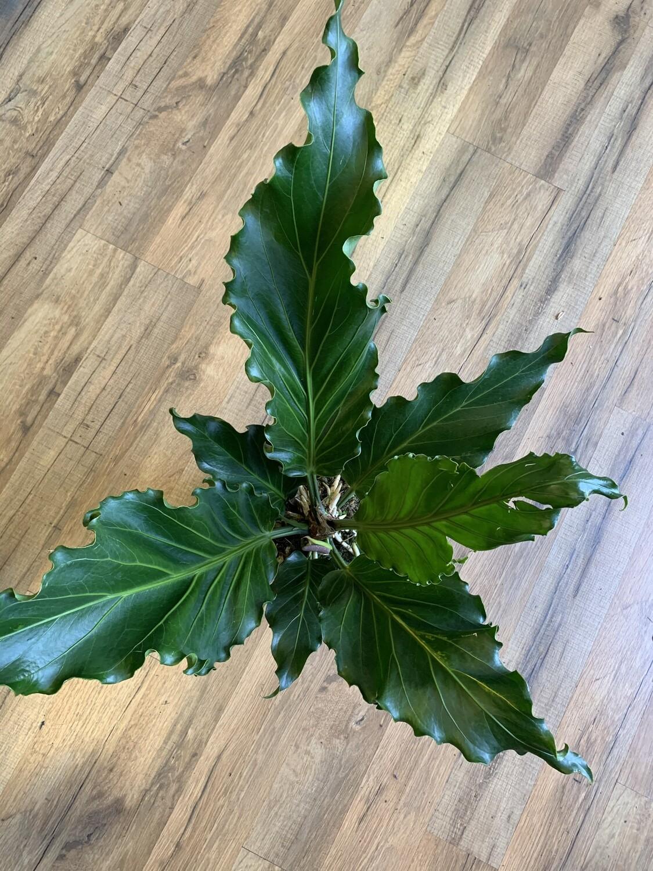 Anthurium 'Plowmanii'