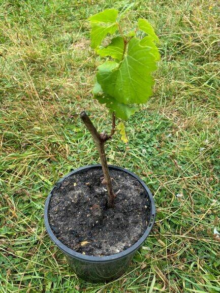 Chardonnay Or Shiraz Wine Grape Vine Plant potted
