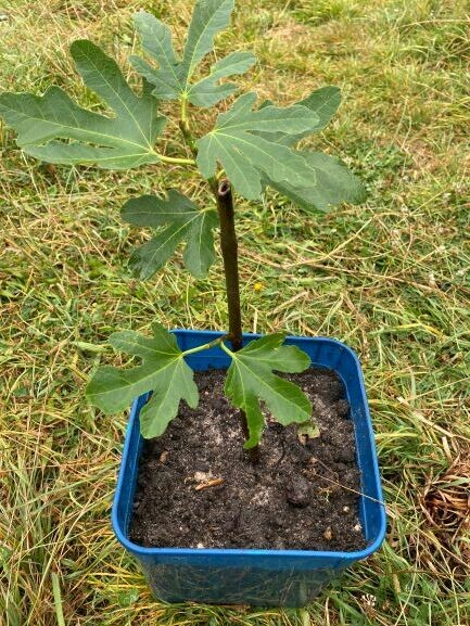 Fig tree potted plant