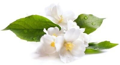 Jasmine Absolute Oil Blend - Jasminum sambac 3% Dilution in Organic Sunflower