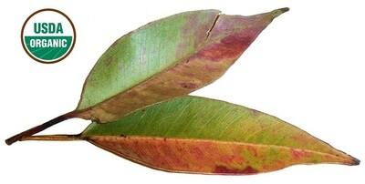 Eucalyptus Organic Essential Oil - Eucalyptus globulus