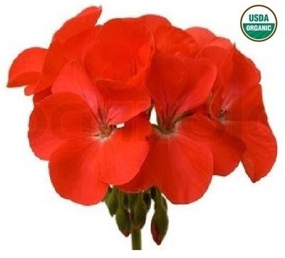 Geranium Organic Essential Oil - Pelargonium x asperum