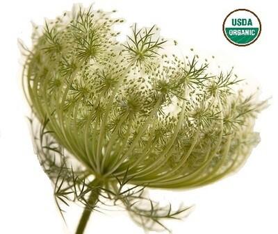 Carrot Seed Organic Essential Oil - Daucus carota