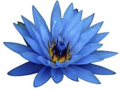 Blue Lotus Absolute Oil Pure - Nymphaea caerulea (non-organic)