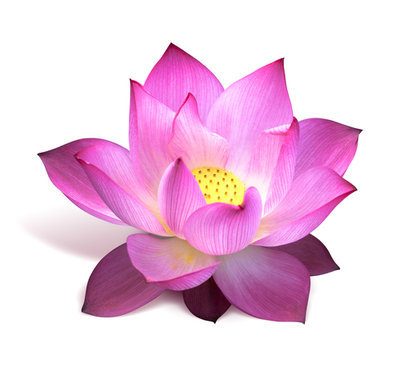 Magical Pink Lotus Absolute Oil Pure - Nelumbo nucifera
