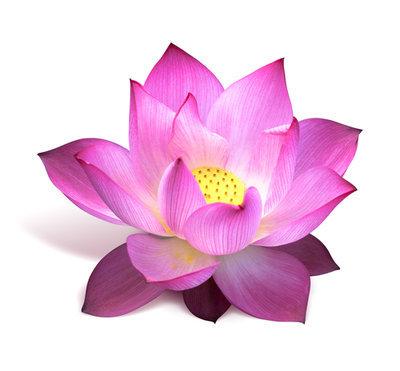 Pink Lotus Absolute Oil Pure - Nelumbo nucifera (non-organic)