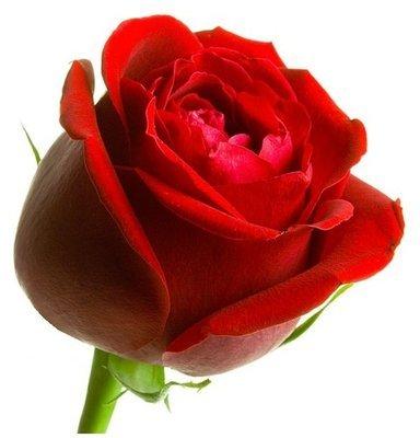 Rose Absolute Oil Pure - Rosa damascena (non-organic)