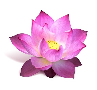 Magical Pink Lotus Absolute Oil 3% Blend - Nelumbo nucifera
