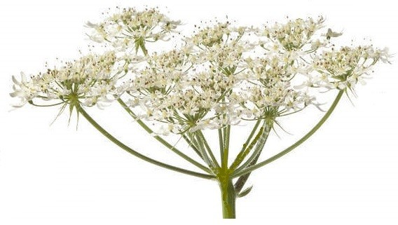 Angelica Root Essential Oil - Angelica archangelica