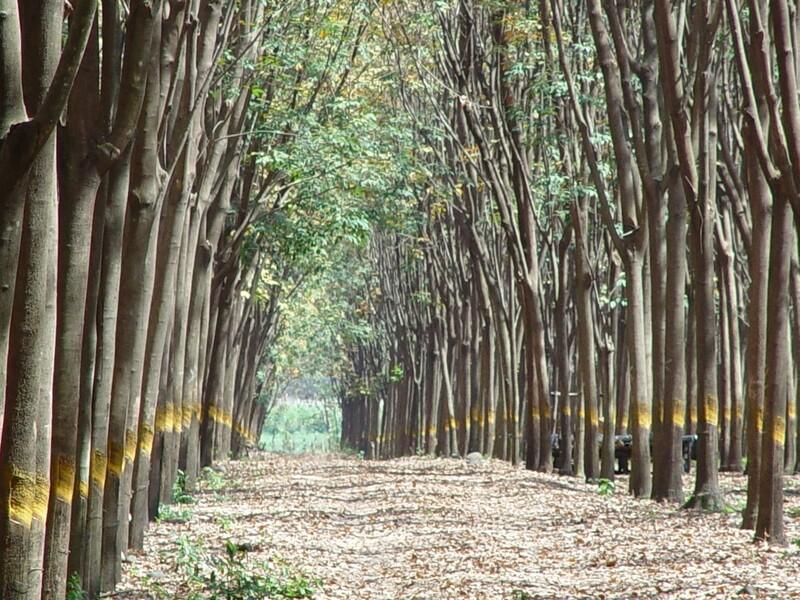 Natural Rubber Tree Plantations