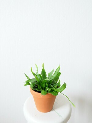 Rhipsalis Red Coral (discounted)