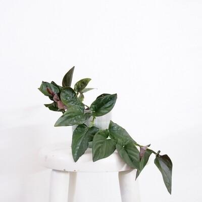 Syngonium Erythophyllum