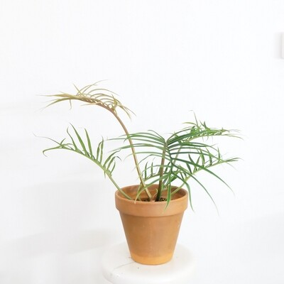 Philodendron Tortum (discounted)