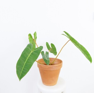 Philodendron Billietiae #4