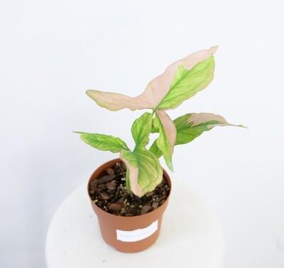 Syngonium Podophyllum Pink Splash #2