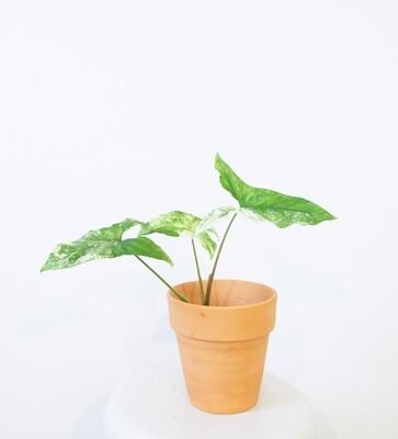 Syngonium podophyllum albo-variegatum #1