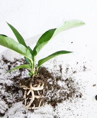 Anthurium Jungle Bush (50%)