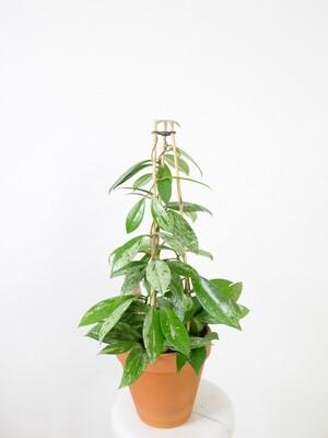 Hoya pubicalyx splash