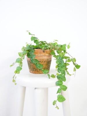 Ficus pumila 'Sunny Green'