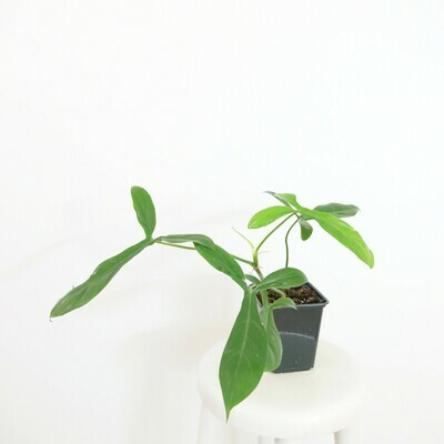 Philodendron 69686 #6