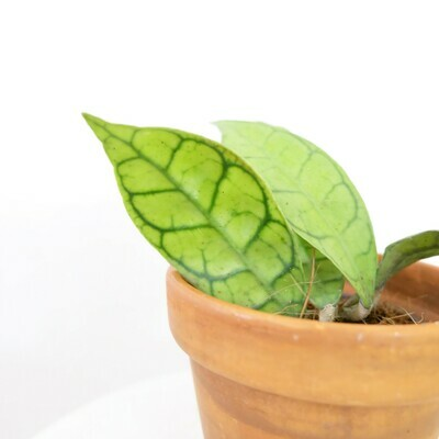 Hoya Callistophylla (short leaf)