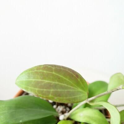 Hoya Merrillii (long leaf)