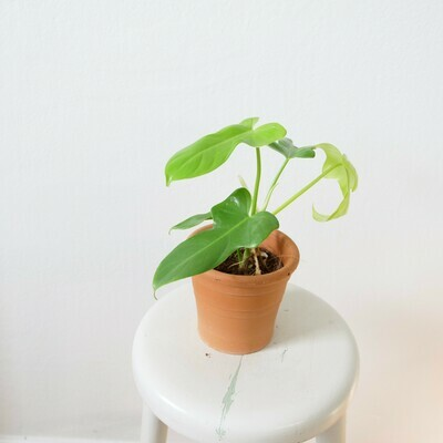 Philodendron Golden Violin #2