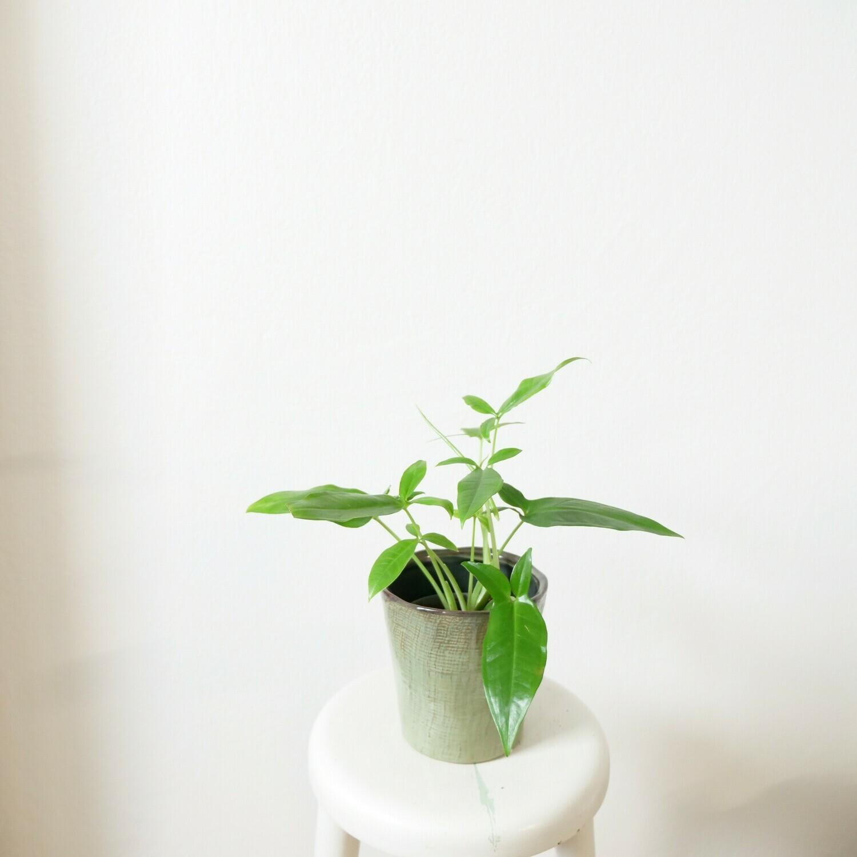 Syngonium Auritum