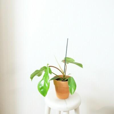 Philodendron Squamiferium