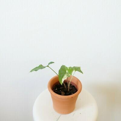 Syngonium podophyllum albo-variegatum #3