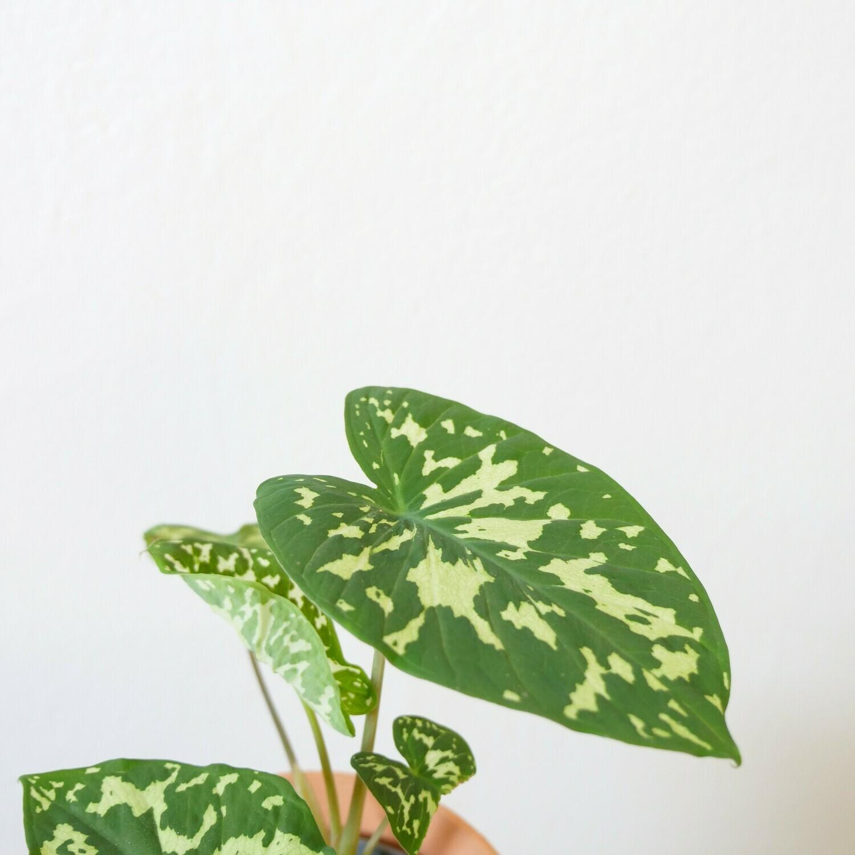 Colocasia Hilo Beauty