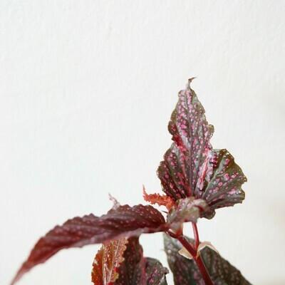 """Begonia Benigo """"Pink"""""""