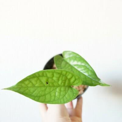 Amydrium medium green #3