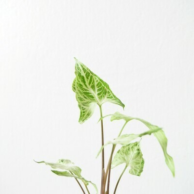 Syngonium Batik (small plant)