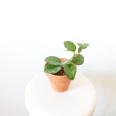 Hoya Carnosa Freckles splash (small)