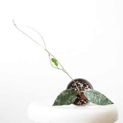 Hoya Caudata *rooted cutting