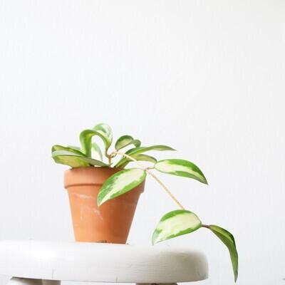 Hoya Verticilata variegata *rooted cutting